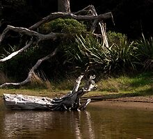 Dead Pohutukawa tree at the side of the stream........! by Roy  Massicks