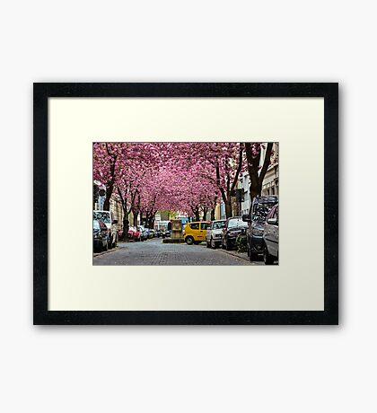 Rows of cherry blossom trees in full bloom on Heerstrasse (cherry blossom avenue) in Bonn in Germany Framed Print