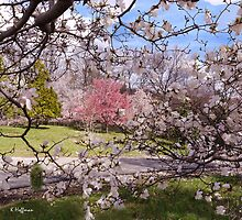 Looking Through the Magnolia by Kenneth Hoffman