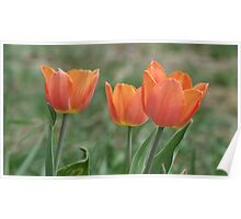 The First Three Tulips Of The Spring Poster