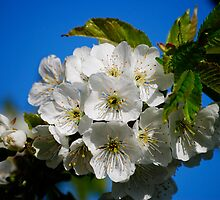 Cherry Blossoms by NVSphoto