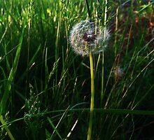 The Dandelion's Wish of Perhaps by Kieran Rundle