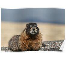 Colorado Marmot Poster