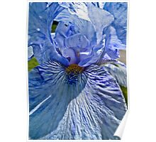 Blue Bearded Iris Poster