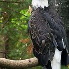 Bald Eagle by Dazie4252