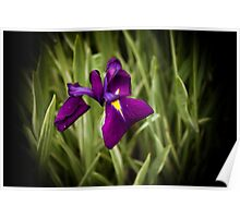 Purple Japanese Iris Poster