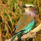 Lilac Breasted Roller... Botswana's National Emblem by Pauline Adair