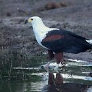 African Fish Eagle by Pauline Adair