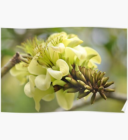 Yellow Coral Tree Flower Poster