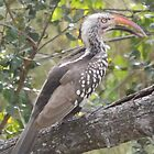Red-billed Hornbill by Pauline Adair