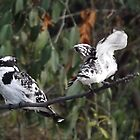 Pied Kingfishers by Pauline Adair