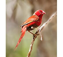 Crimson finch (Neochmia phaeton) Photographic Print
