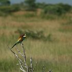 European Bee-eater by Pauline Adair