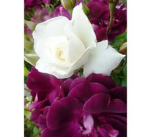 Iceberg Rose - growing 2 colours Photographic Print