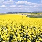 Yellow Fields Berkshire downs by Jim Hellier