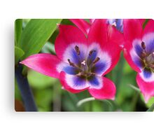 A special little tulip Canvas Print