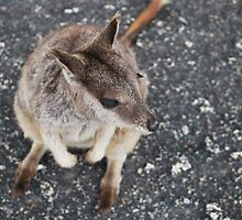 Rock Wallaby 2 by Emily McAuliffe