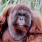 Orangutan Male by AnnDixon