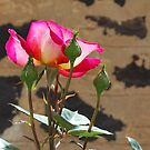 Rose in the Sunlight by Emily McAuliffe