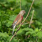 Linnet -1 by Peter Wiggerman