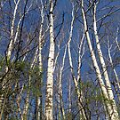 Birch Delight by Mary Kaderabek-Aleckson