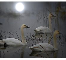 The Swan Song Photographic Print