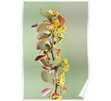 Blooming berberis Poster