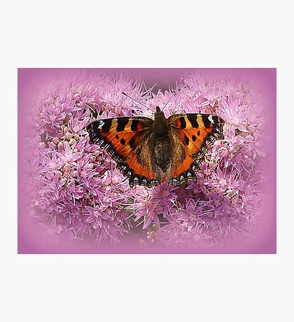 Tortoiseshell Butterfly on Pink Sedum. Photographic Print