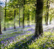 Morning Bluebells by Ian Hufton