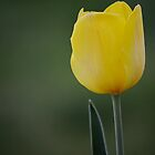 Tulip by anchorsofhope
