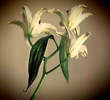 White lilies in Sepia by brijo