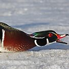 Protecting his territory - Wood Duck by Jim Cumming