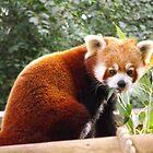 Red panda by Jarriet