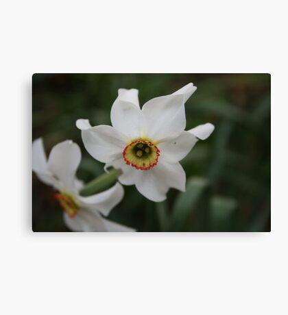 Flower - narcissus Canvas Print