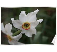 Flower - narcissus Poster