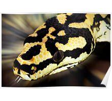 Snake,carpet python. Poster
