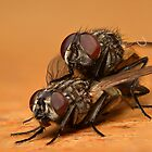 Flies Mating by Alex Ford
