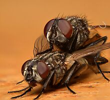Flies Mating (Musca domestica) by Alex Ford