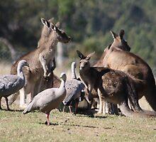 Kangaroos and Cape Barren Geese by TassieTigress