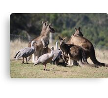 Kangaroos and Cape Barren Geese Canvas Print