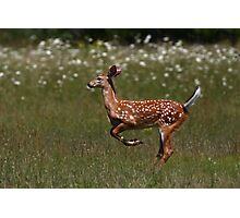 White-tailed deer - Fawn Photographic Print
