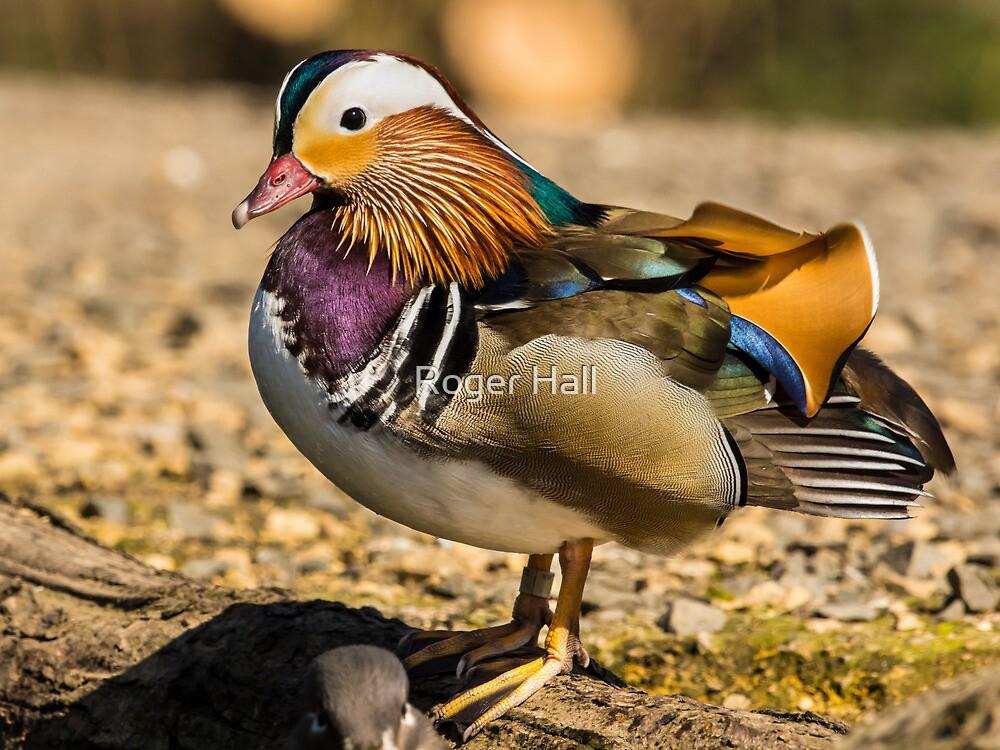 Mandarin Duck by Roger Hall