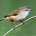 Brown Gerygone_Cattai Wetlands by Alwyn Simple