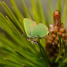 Green Hairstreak by XplosivBadger-