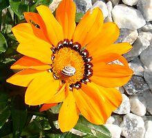 Bright Orange Gazania Flower with Snail by taiche