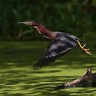 Green Heron Liftoff by Jim Cumming