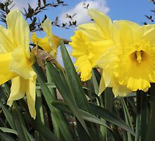 Bunch of yellow daffodils. by Avril Harris