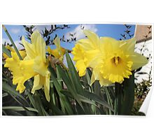 Bunch of yellow daffodils. Poster