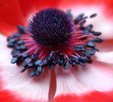 Red Anemone centre and stamens by Avril Harris