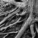 Roots by David Schroeder